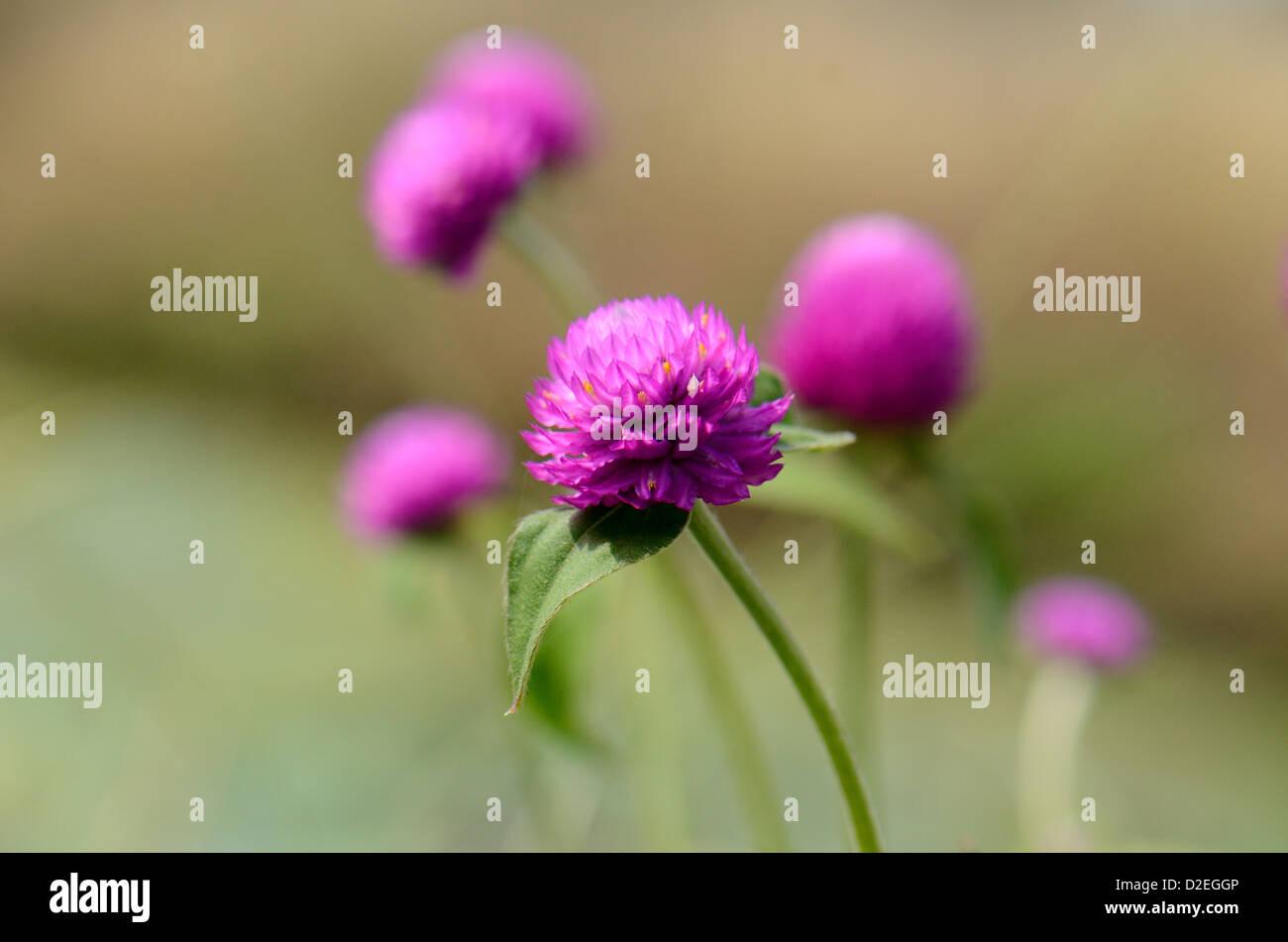 Globo bellissimo fiore di amaranto (Gomphrena globosa Linn.) a Thai Flower Garden Immagini Stock
