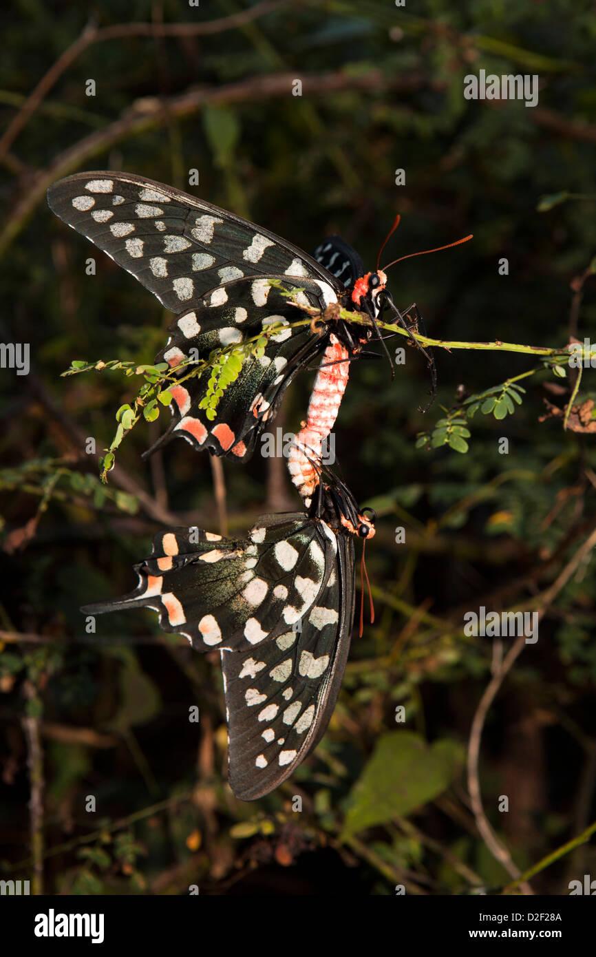 Madagascar a coda di rondine gigante (Atrophaneura antenor) farfalle coniugata Immagini Stock