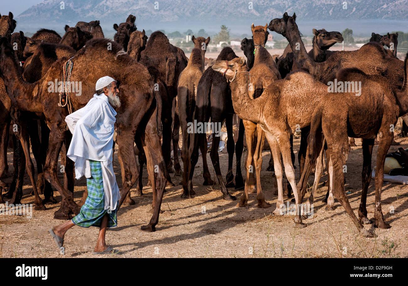 Un cammello herder aziona una mandria attraverso il deserto di Thar verso Pushkar per l'annuale fiera, Rajasthan, Immagini Stock