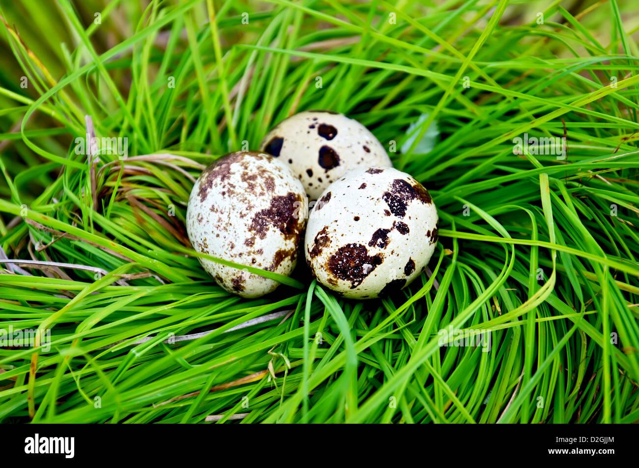 Tre spotted uova di quaglia in un nido di erba verde Foto Stock