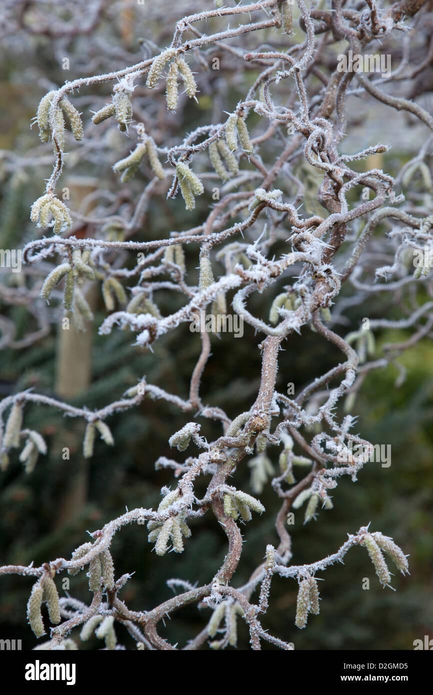 Ghiaccio smerigliato su twisted hazel arbusto Foto Stock