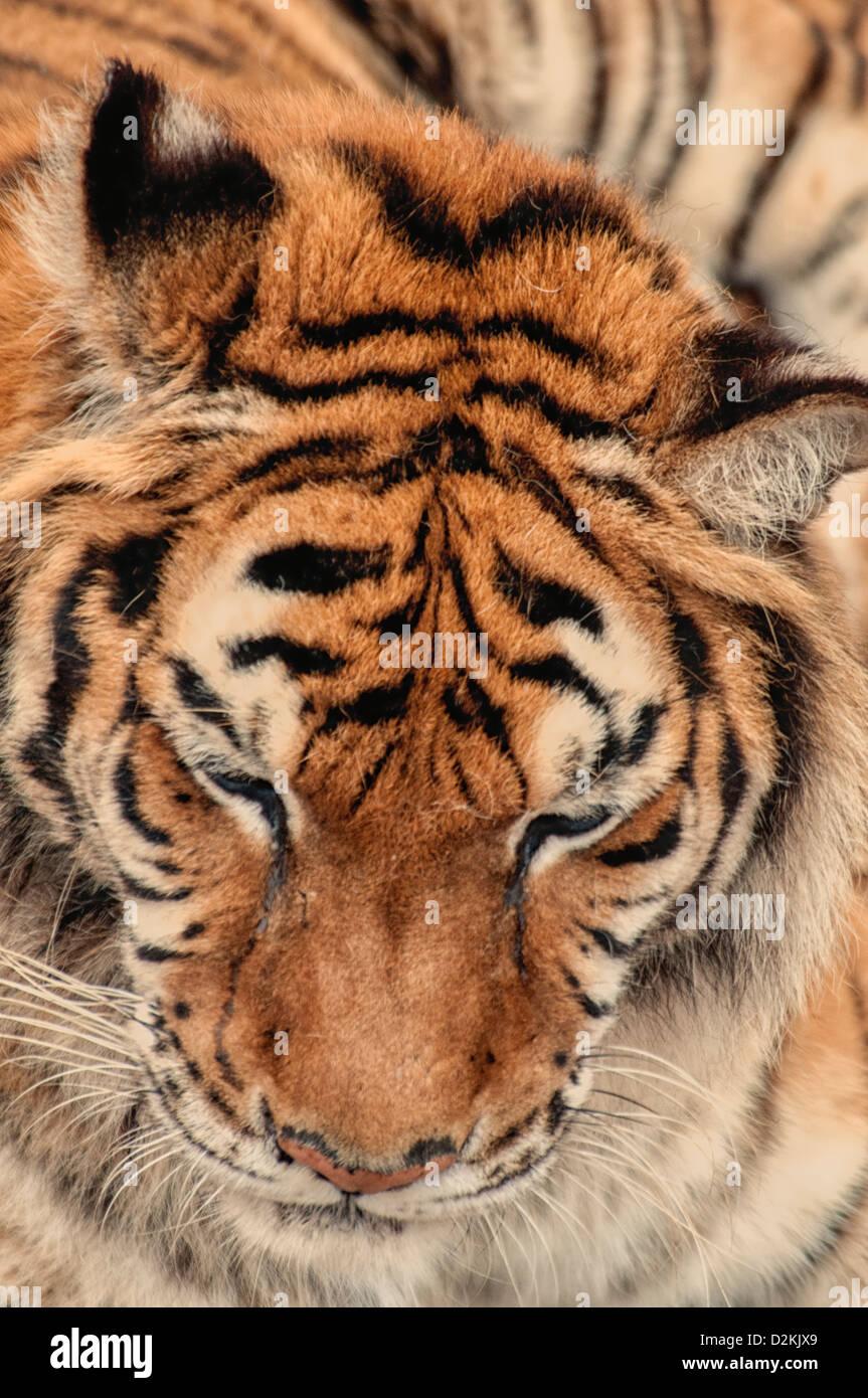 Tiger al Wild Animal Santuario, Keenesburg, Colorado, STATI UNITI D'AMERICA Immagini Stock