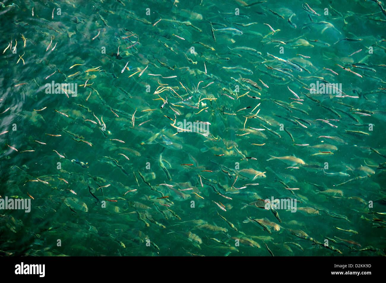 La scolarizzazione acqua salata pesce, STATI UNITI D'AMERICA Immagini Stock