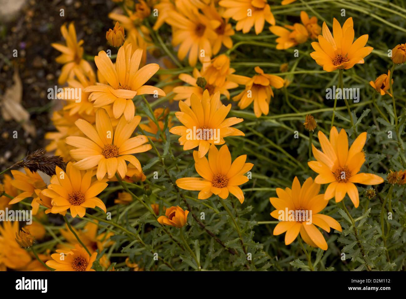 Fiori Tipo Margherite.Fiore Della Pioggia Immagini Fiore Della Pioggia Fotos Stock Alamy