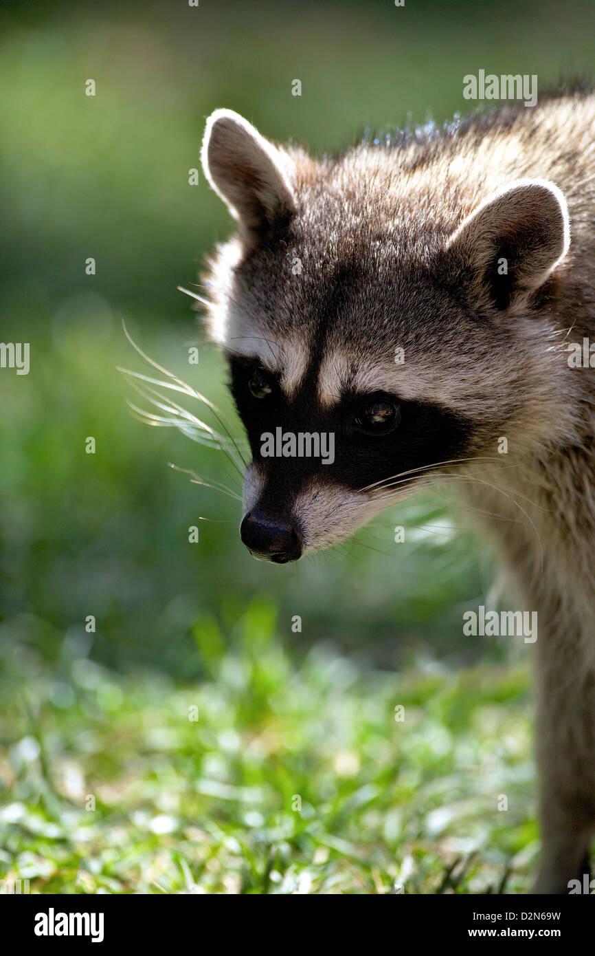 Ritratto di procione comune (Procione lotor), Bearizona Wildlife Park, Williams, Arizona, Stati Uniti d'America, Immagini Stock