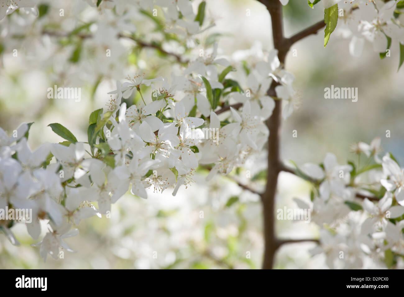 Malus transitoria Crab Apple albero in fiore Immagini Stock