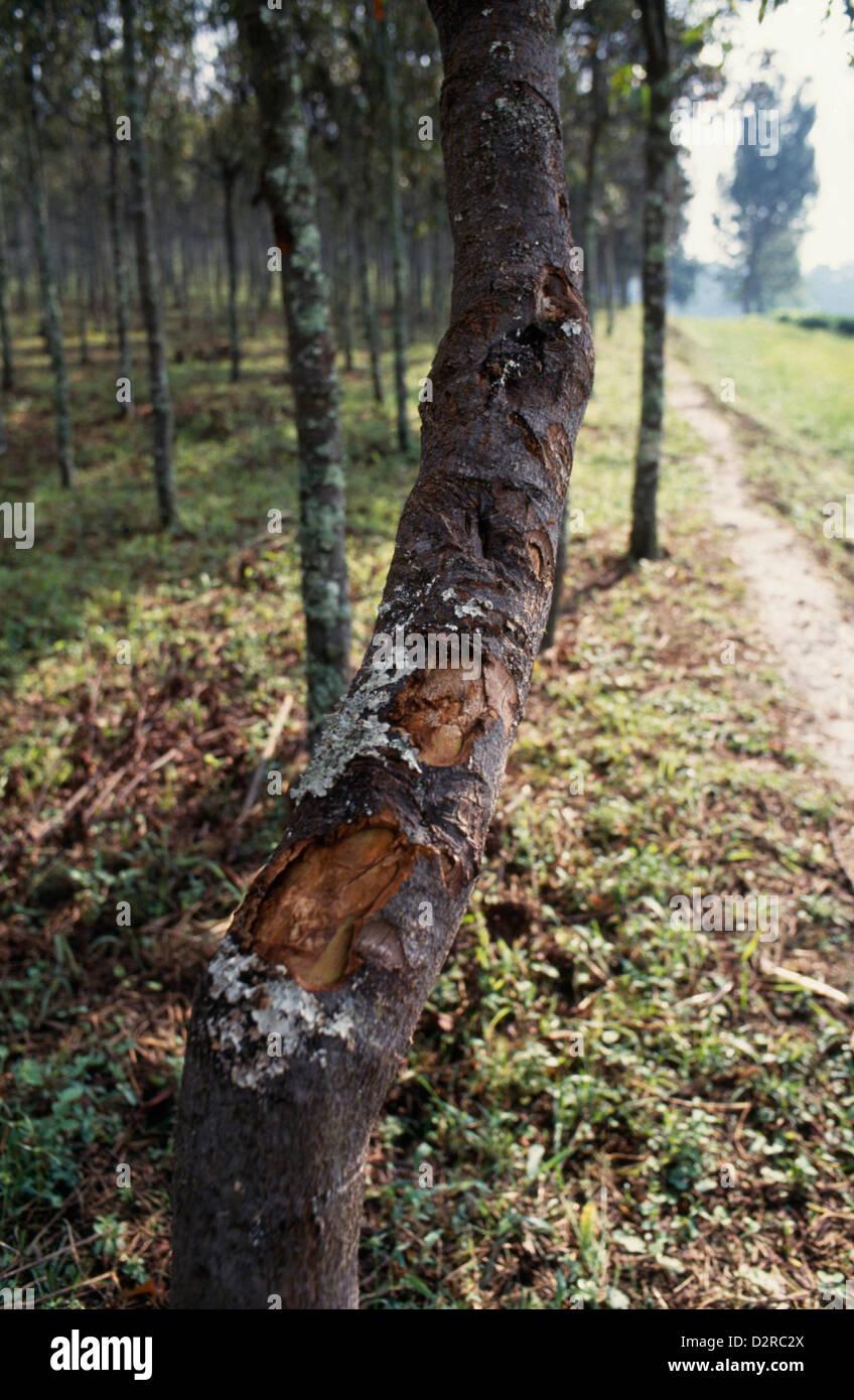 Repubblica democratica del Congo, nel Kivu, China cultivar, chinina tree plantation. Immagini Stock