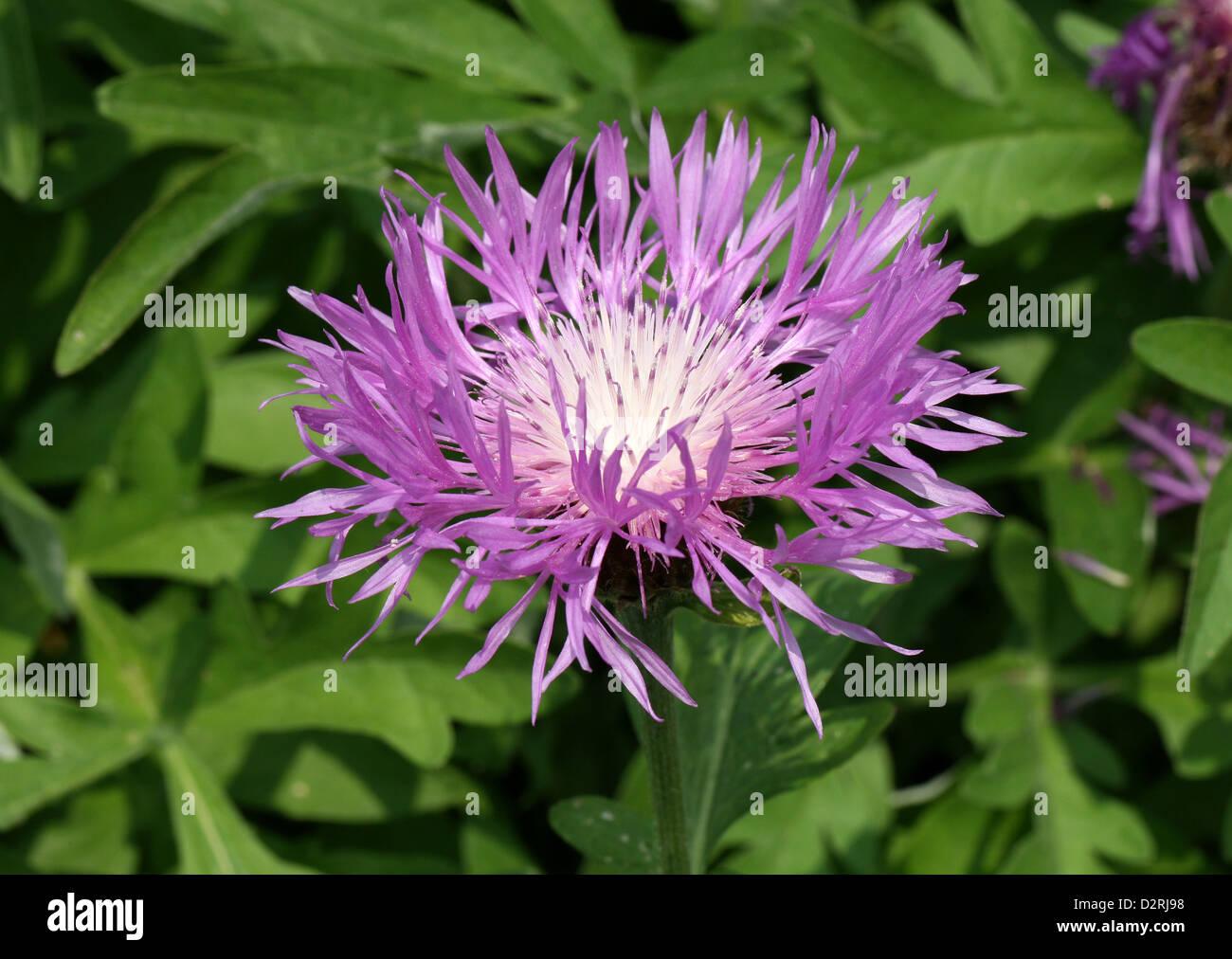 Rosa pulsante scapoli, Centaurea pulcherrima, Asteraceae. Armenia e Turchia. Immagini Stock