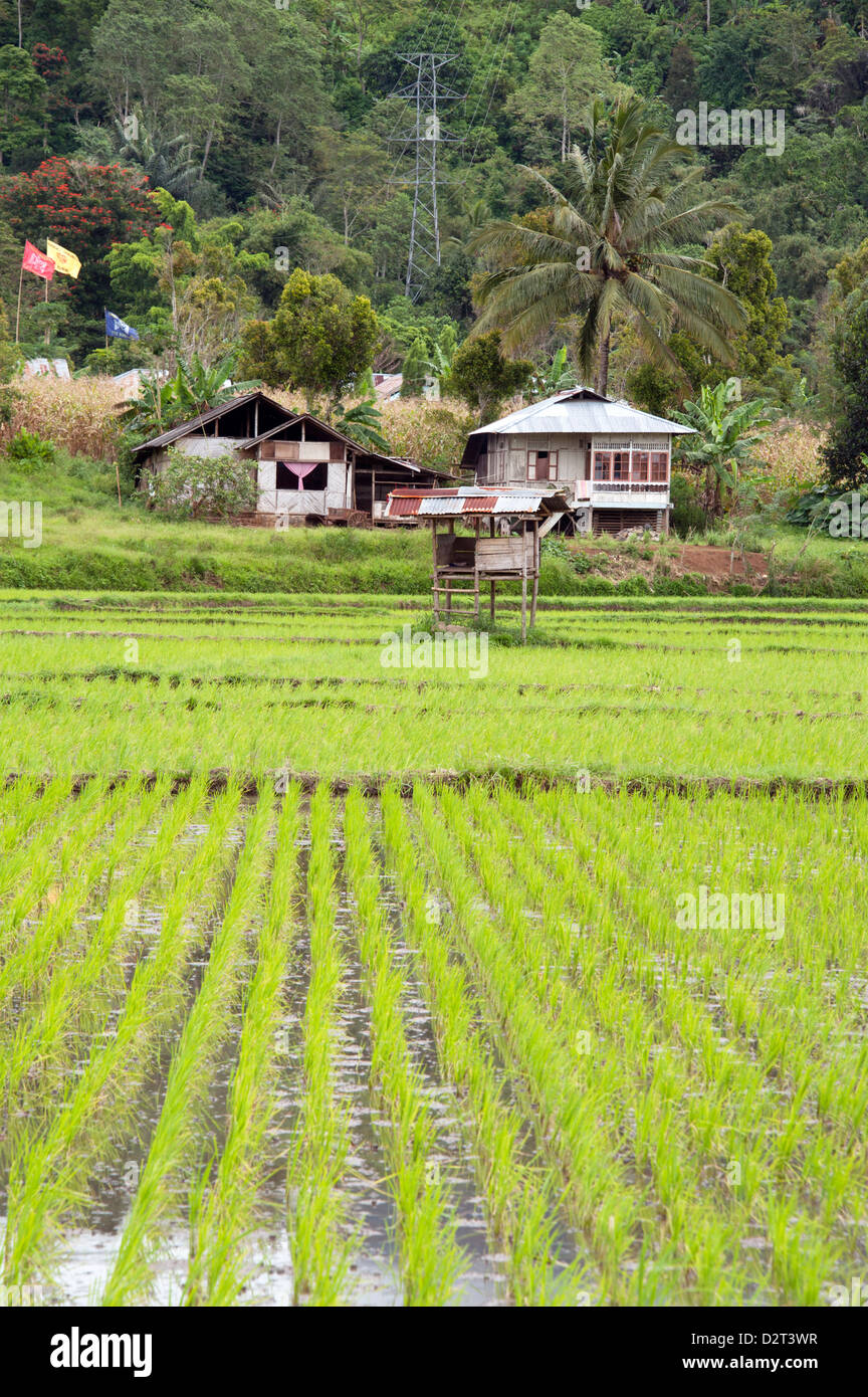La risaia campo, Sulawesi, Indonesia, Asia sud-orientale, Asia Immagini Stock