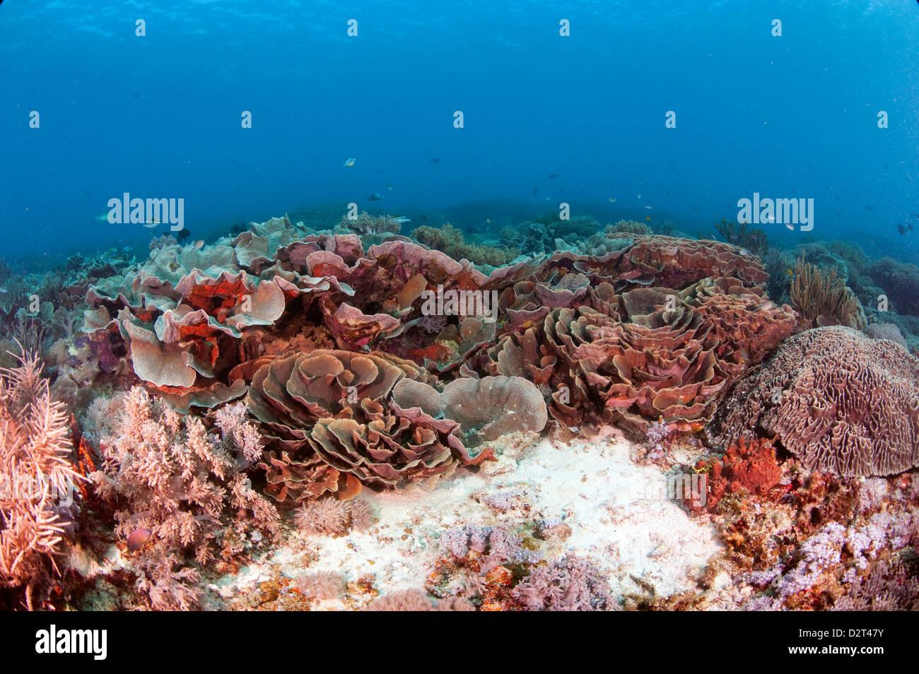 Turbinaria reniformis corallo duro, Komodo, Indonesia, Asia sud-orientale, Asia Immagini Stock