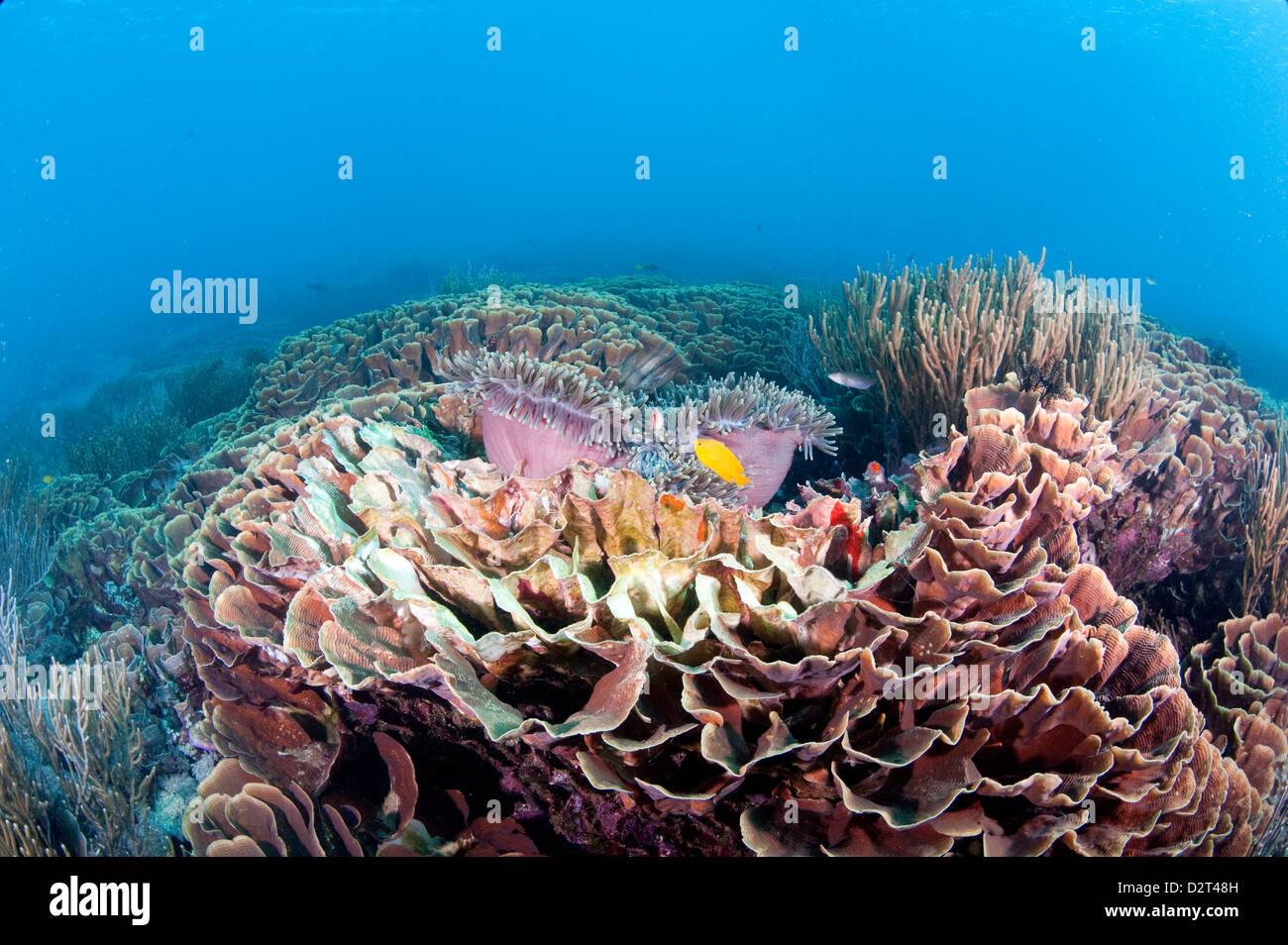 Hard Coral reef scena, Komodo, Indonesia, Asia sud-orientale, Asia Immagini Stock
