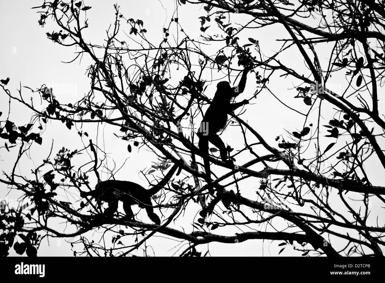 La silhouette di due scimmie urlatrici nel parco nazionale di Soberania, Repubblica di Panama. Immagini Stock