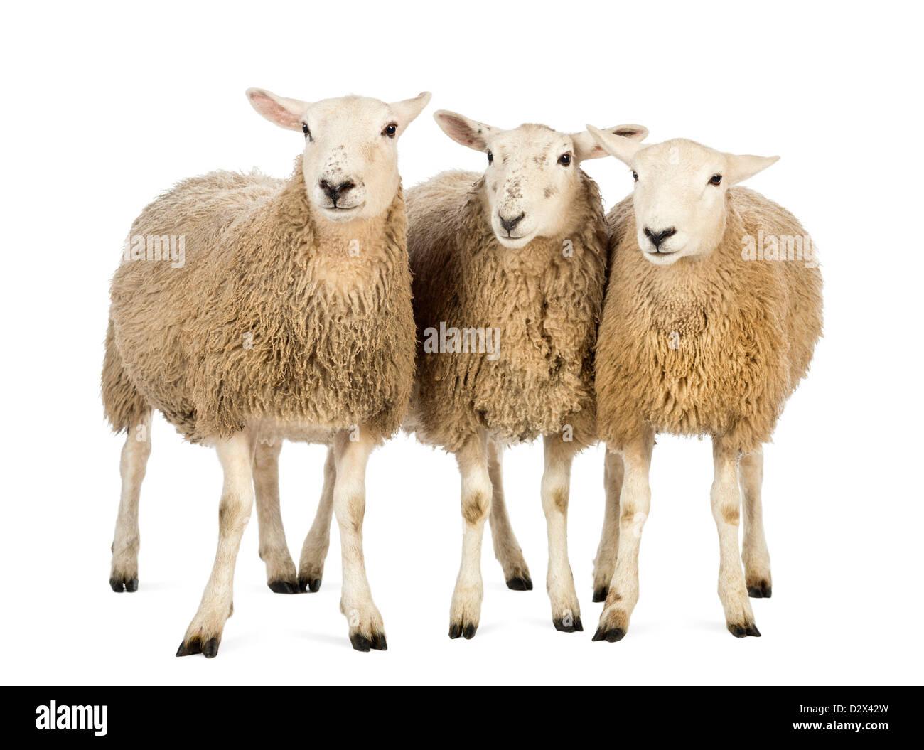 Tre pecore in piedi di fronte a uno sfondo bianco Immagini Stock