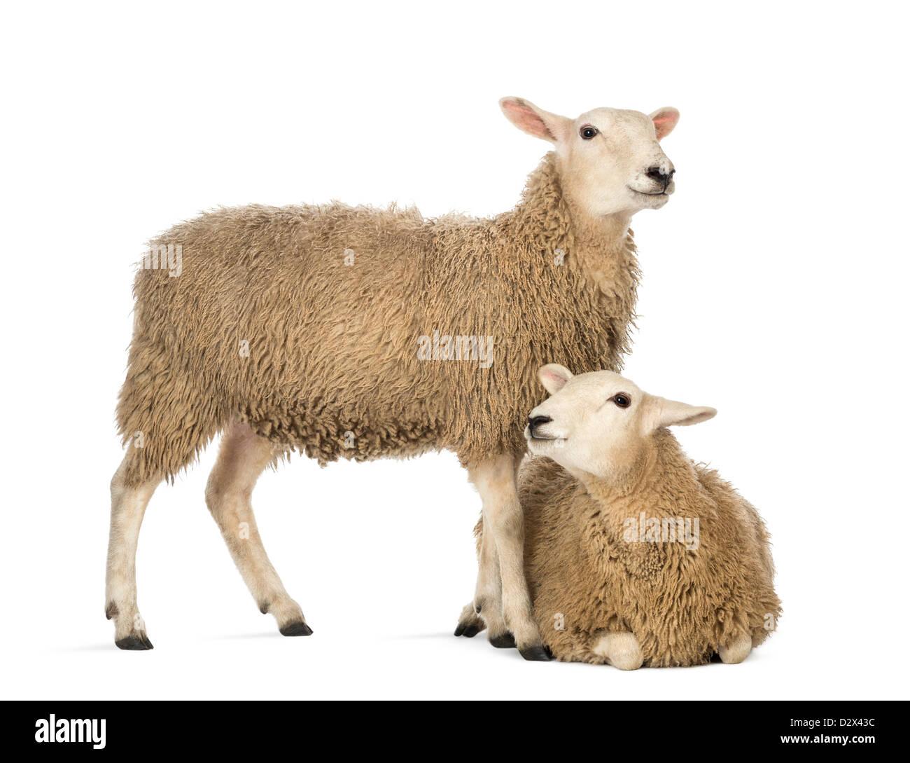 Pecore che giace nella parte anteriore di una pecora in piedi di fronte a uno sfondo bianco Immagini Stock
