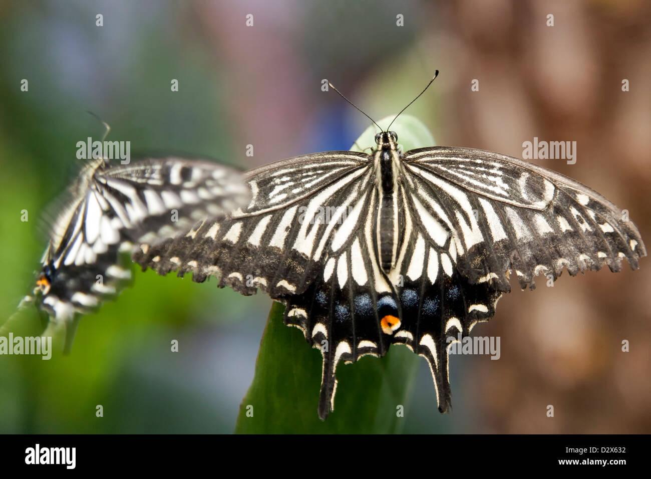 Lime butterfly (Papilio demoleus) è una farfalla di solito visto in ampie parti dell'Asia. Immagini Stock