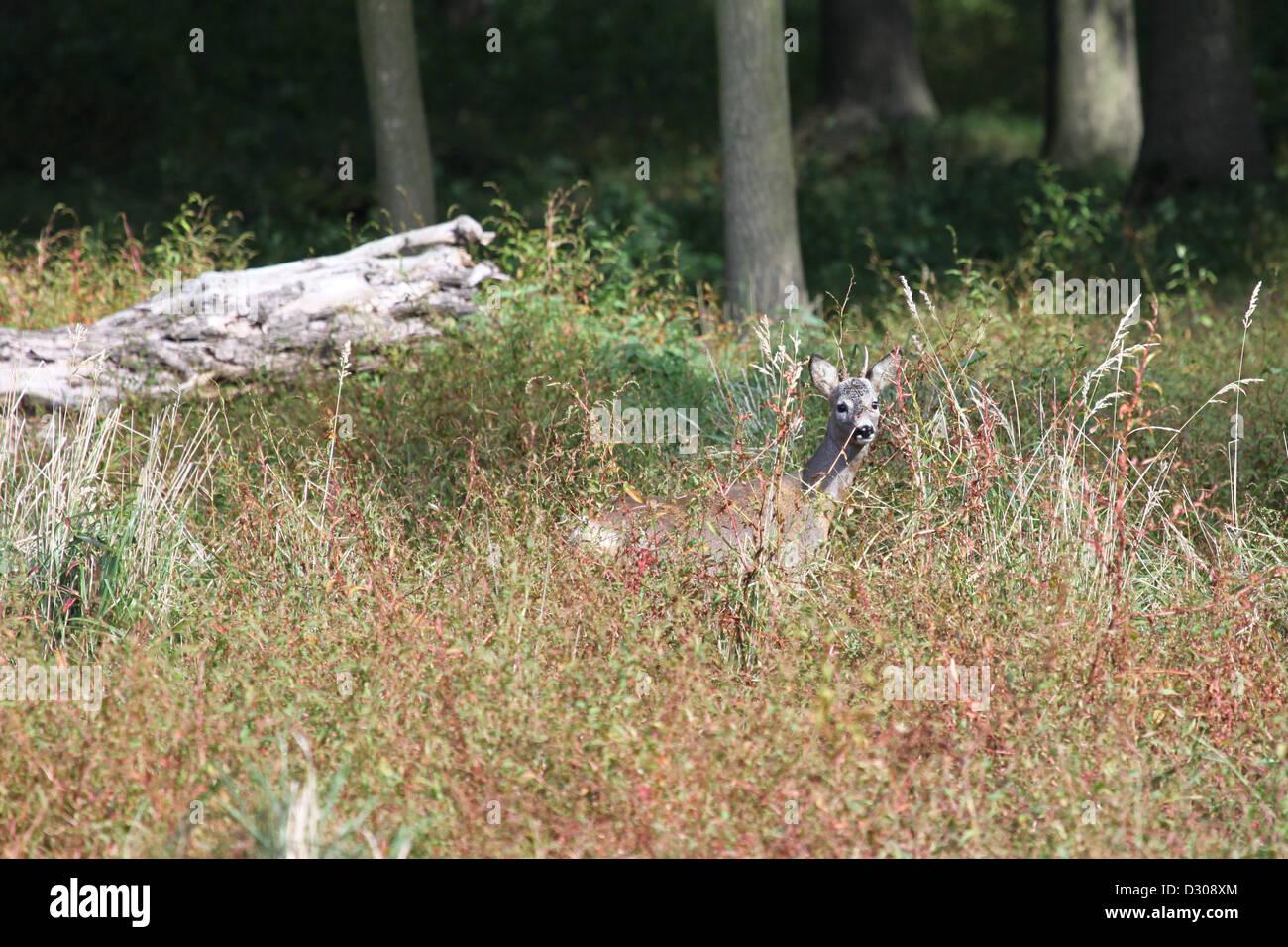 Roebuck nascondendo in erba Immagini Stock