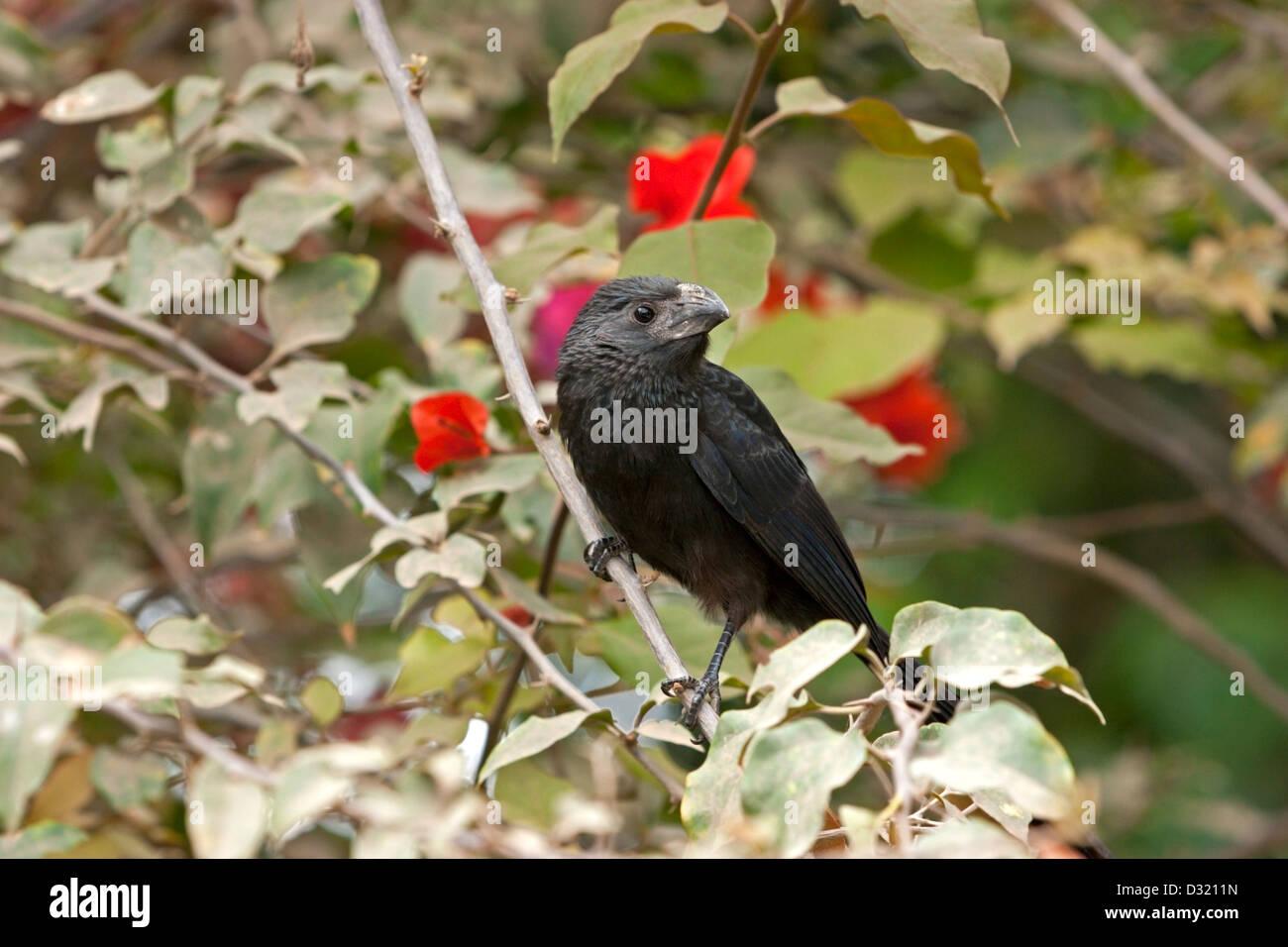 Gli uccelli Uganda black bird Immagini Stock