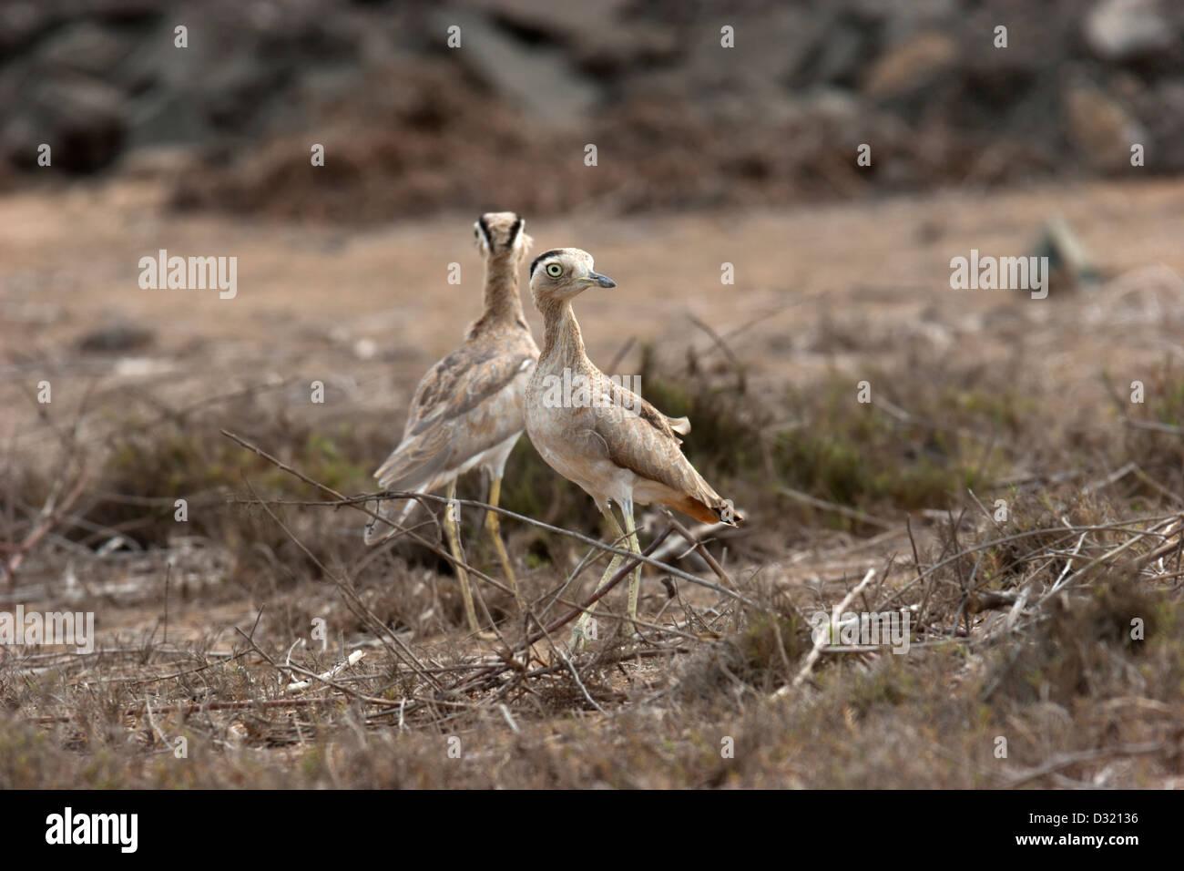 Bird Uganda marrone uccelli nidificanti di massa Immagini Stock