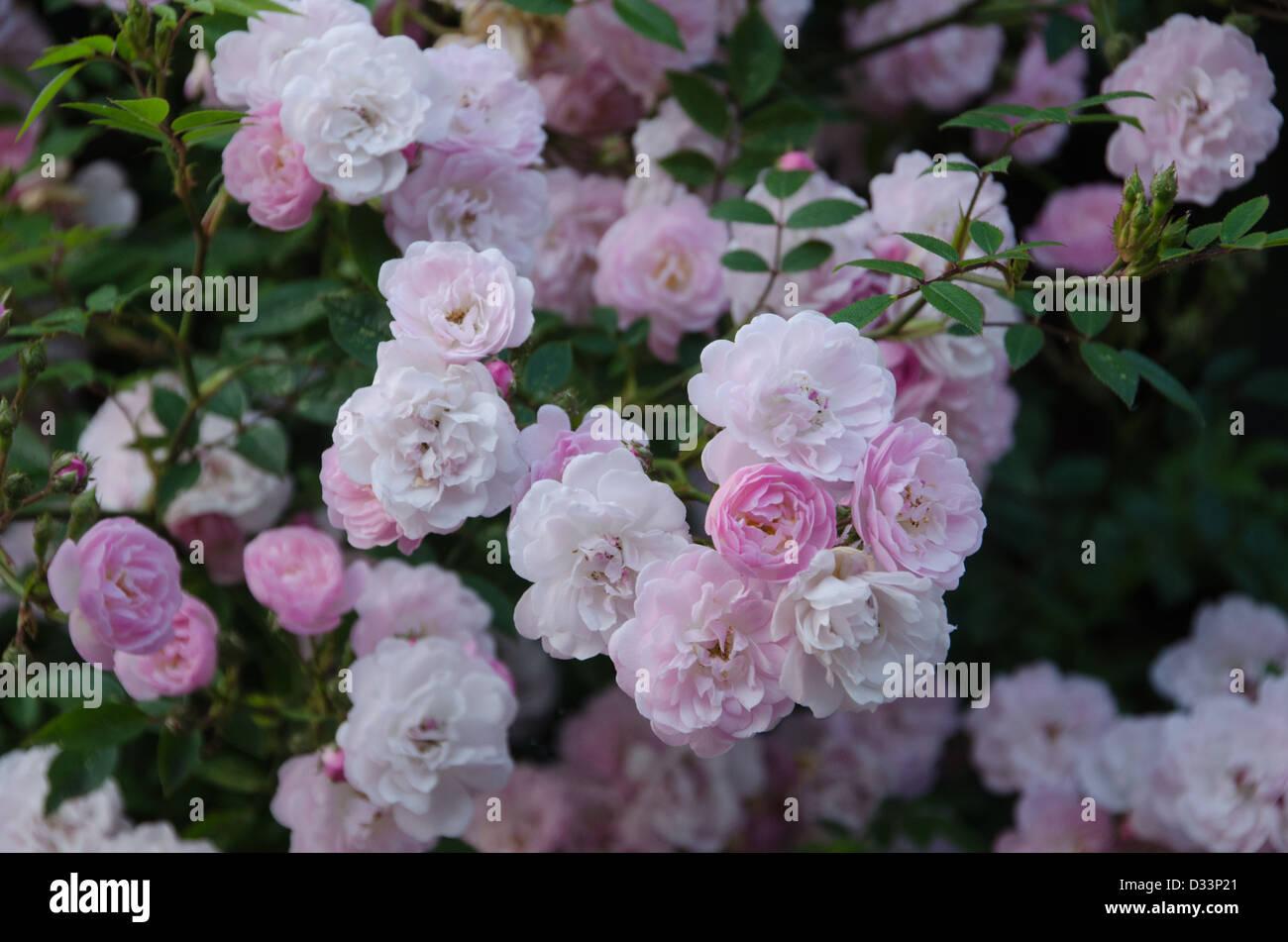 Climbing patio rose 'Little Rambler' Immagini Stock