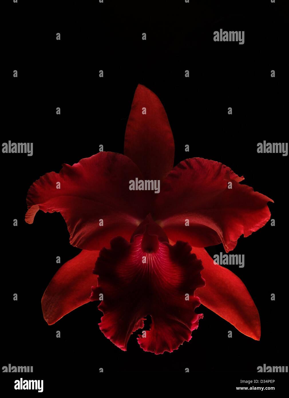 Rosso Vivo Orchid Isolati Su Sfondo Nero Foto Immagine Stock