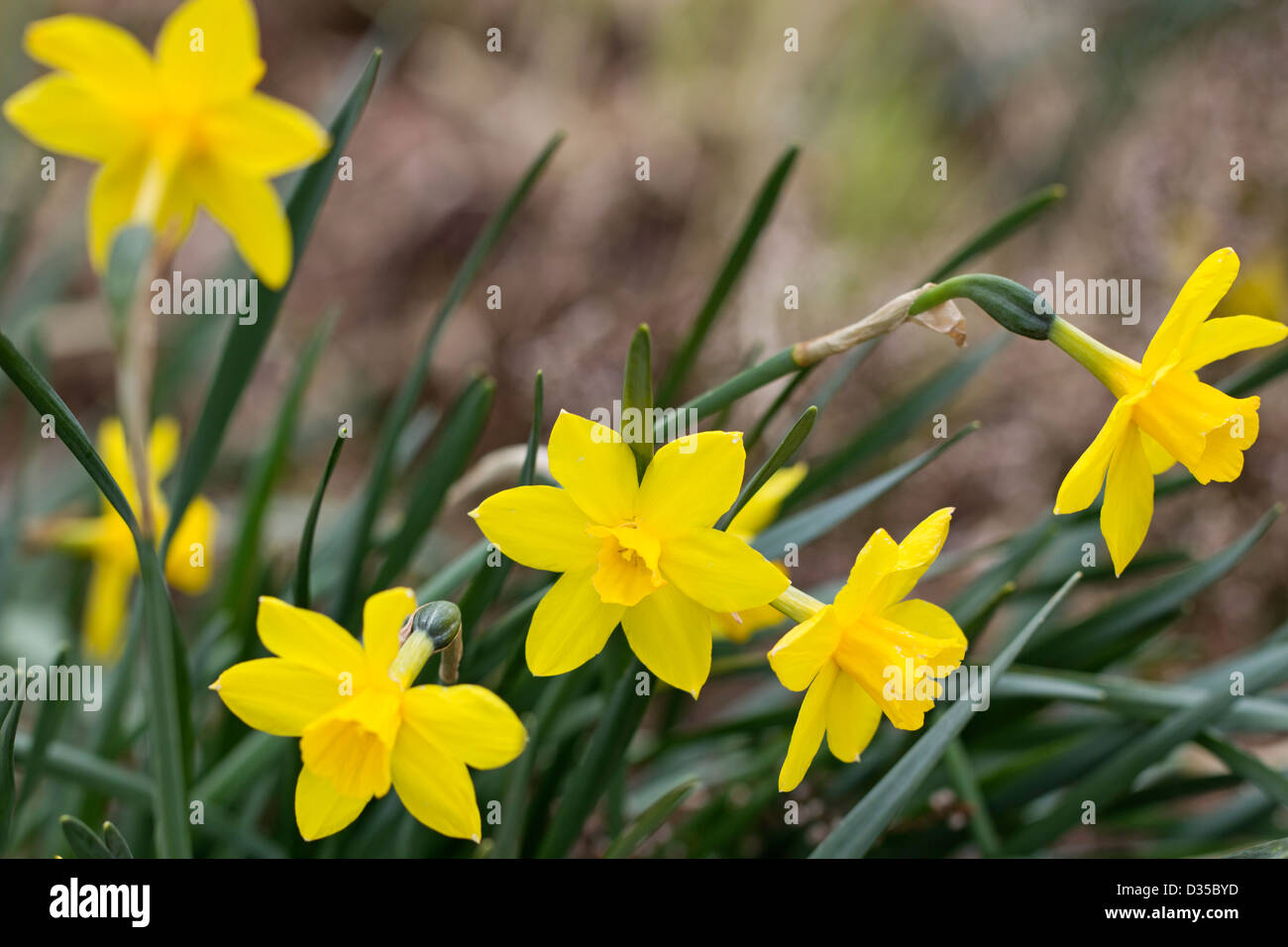 Narcissus 'Sweetness' Immagini Stock