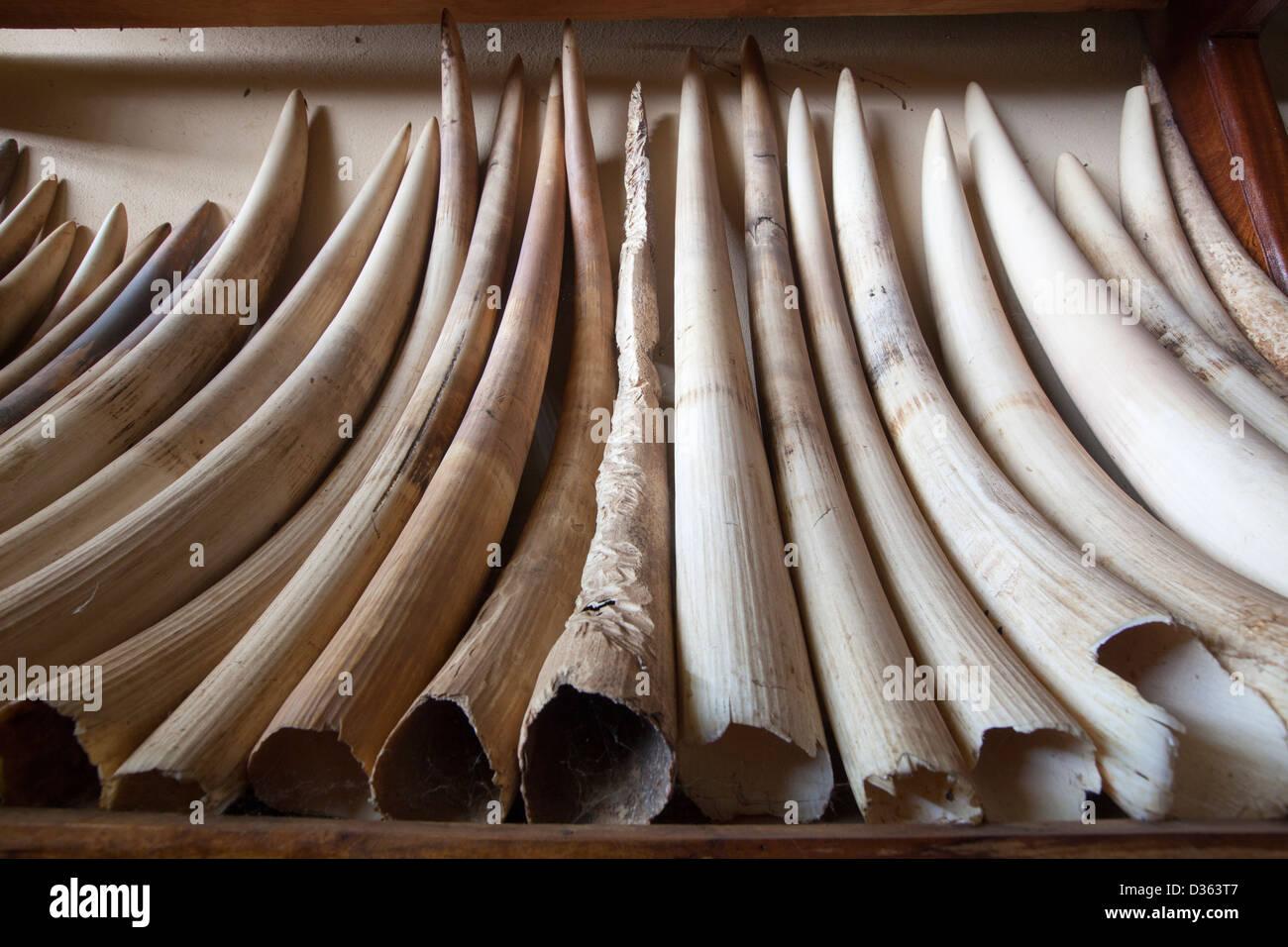 In Camerun, 3 ottobre 2012: avorio confiscato dal Ministero delle Foreste e della fauna selvatica da bracconieri Immagini Stock