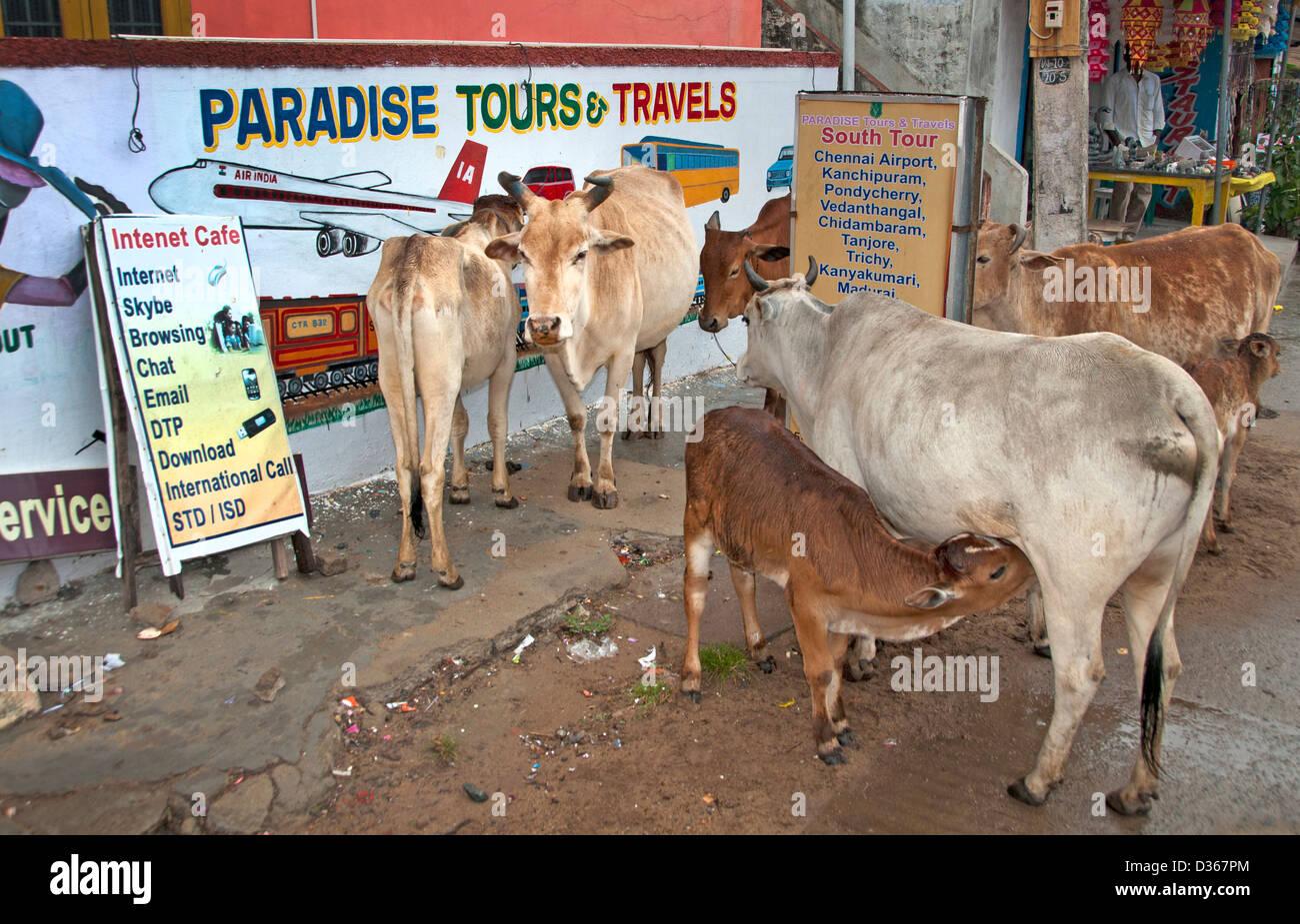 Vacche sacre agenzia di viaggio Viaggi Paradise Tours Covelong ( Kovalam o Cobelon ) India Tamil Nadu Immagini Stock