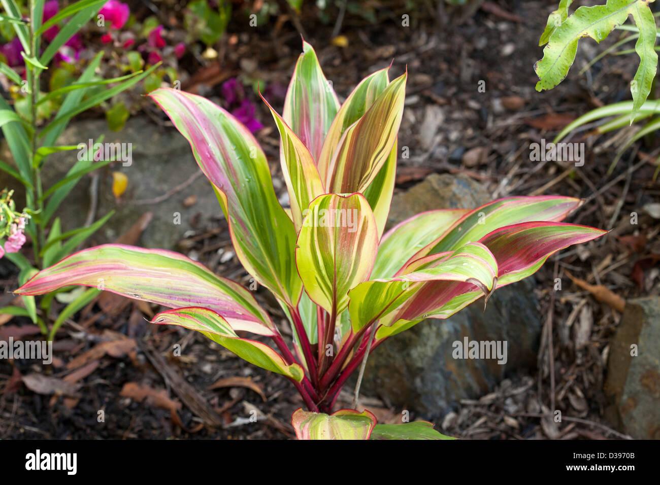 Pianta Foglie Rosse E Verdi cordyline fruticosa cultivar 'rosa' - piante con