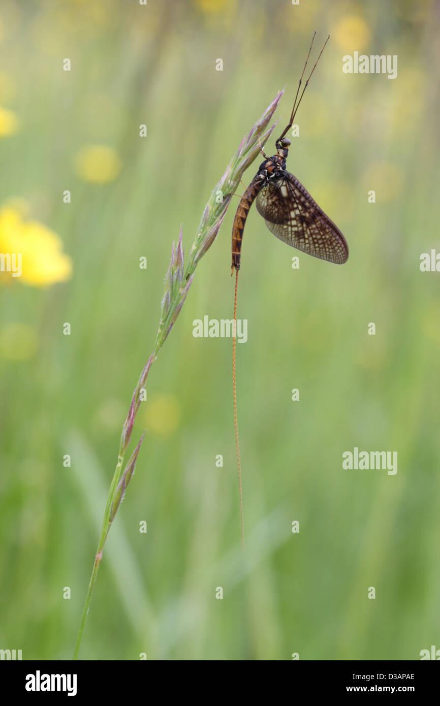 Un giorno di durata mayfly adulto imago Immagini Stock
