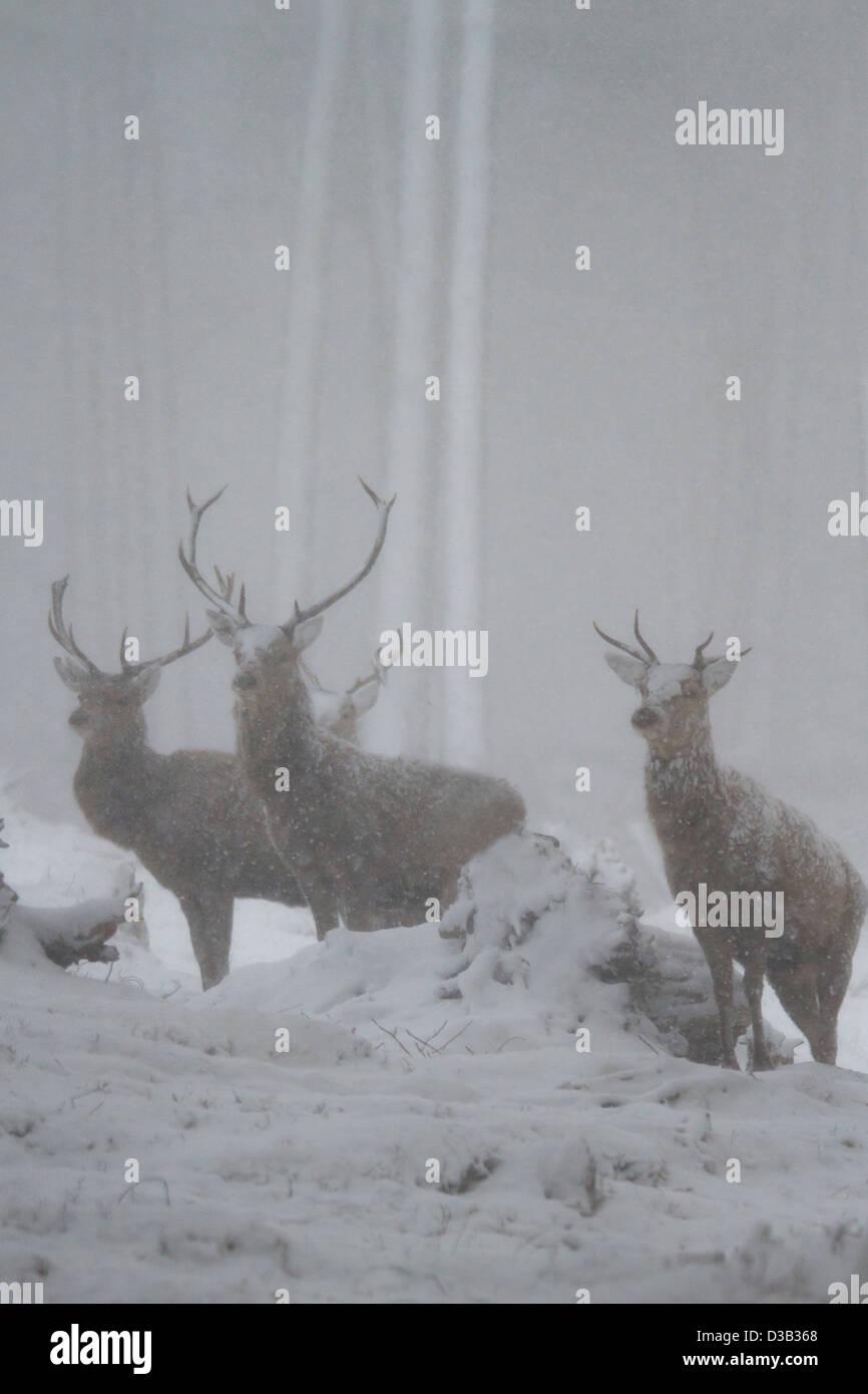 Red Deer stags in una bufera di neve, Highlands scozzesi Immagini Stock