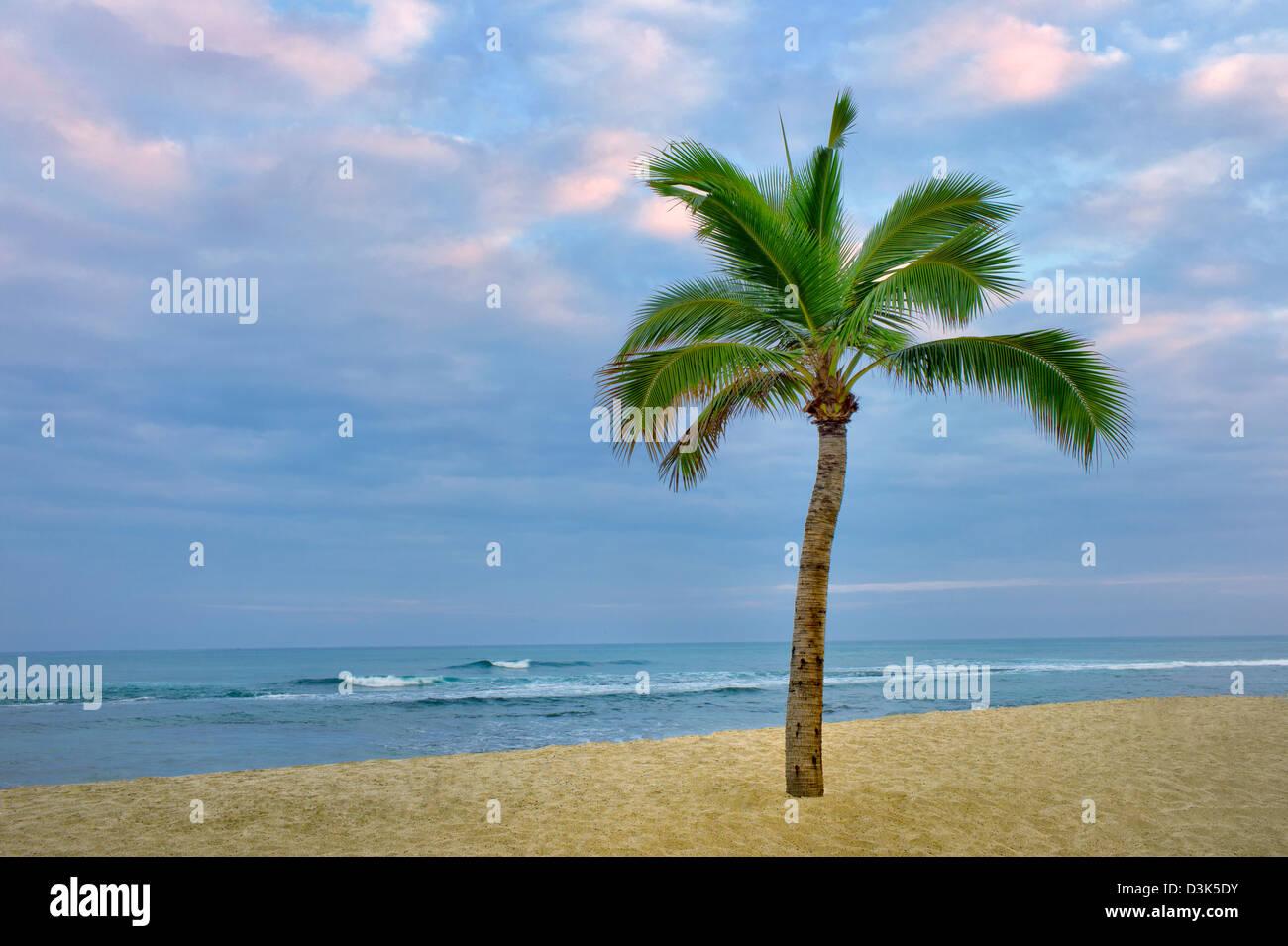 Palm Tree e l'oceano sulla costa Kohala. La Big Island delle Hawaii. Immagini Stock
