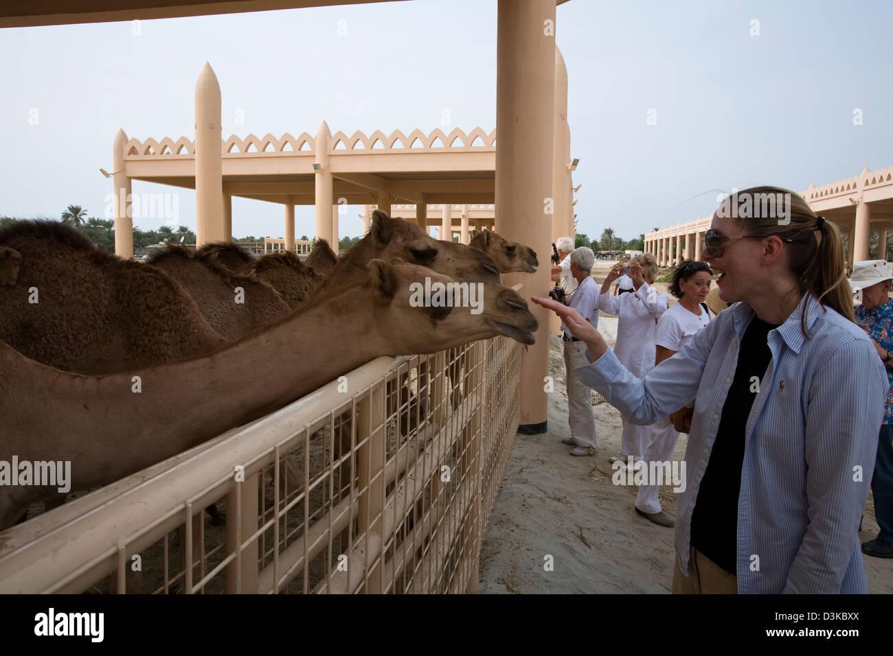 Al-Khalifa scuderie sono aperti al pubblico e le giovani cammelli in particolare sembrano veramente a prosperare Immagini Stock