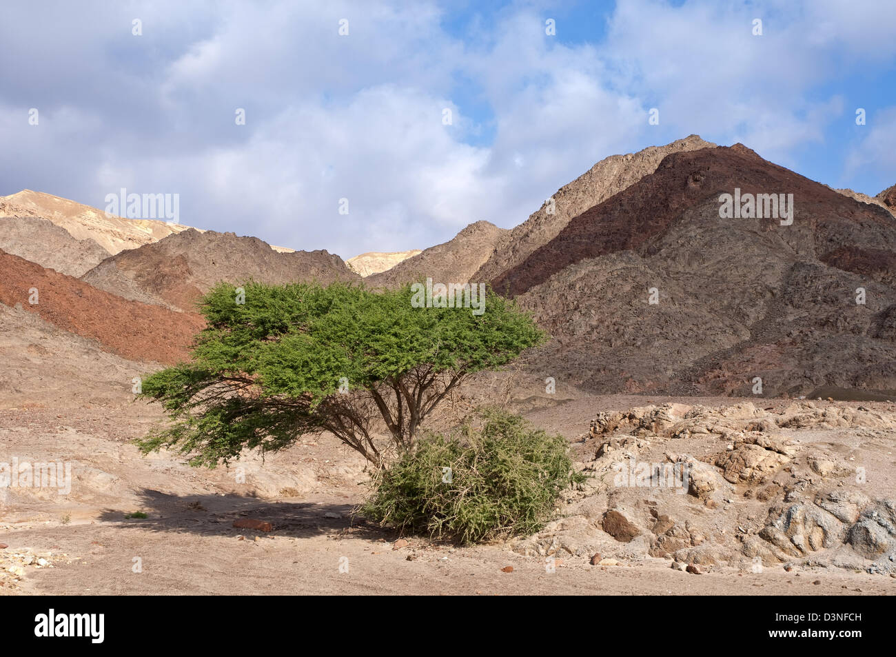Acacia nelle montagne di Eilat, Israele Immagini Stock