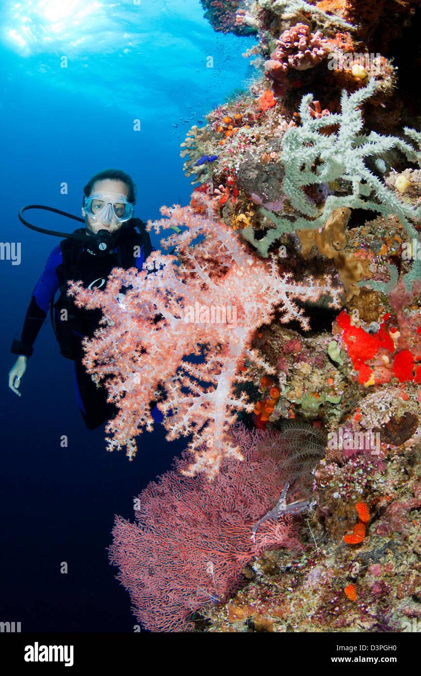 Diver (MR) con gorgonie e coralli alcionario, di Tubbataha Reef, Filippine. Immagini Stock