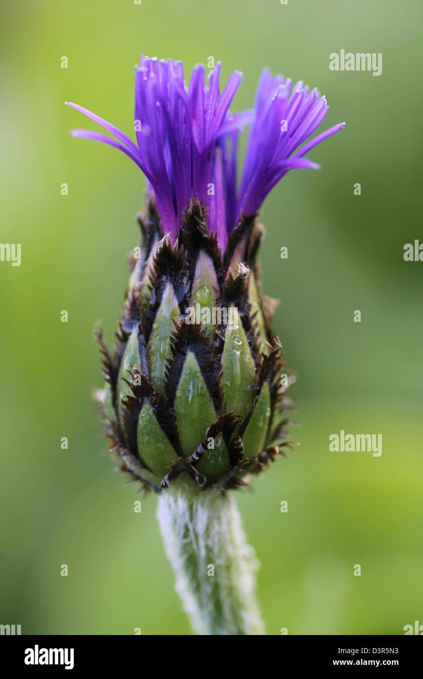 Fiordaliso Bud emergendo con il fiore blu Immagini Stock