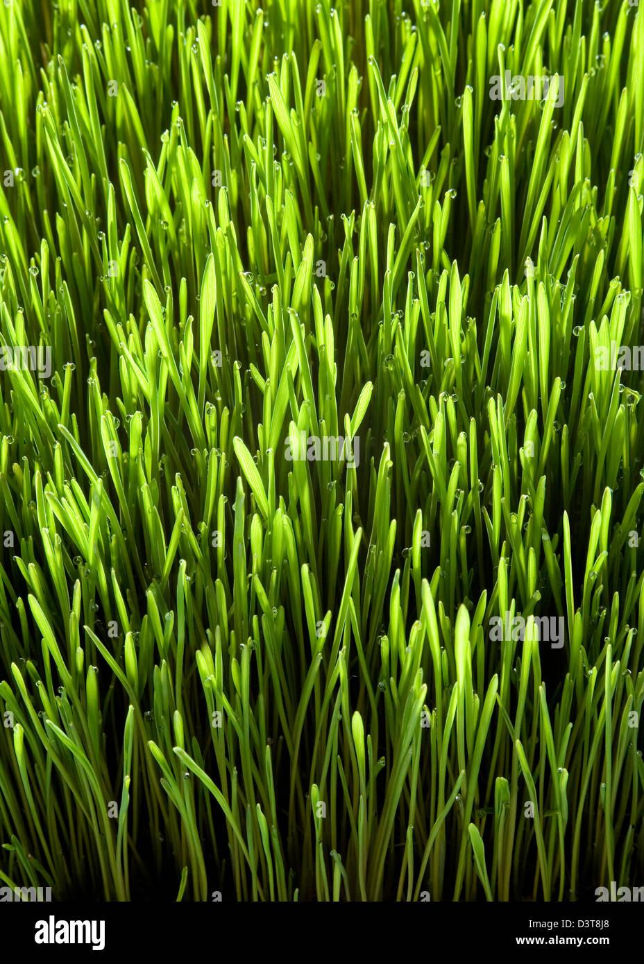 Fresco verde Wheatgrass - close up Immagini Stock