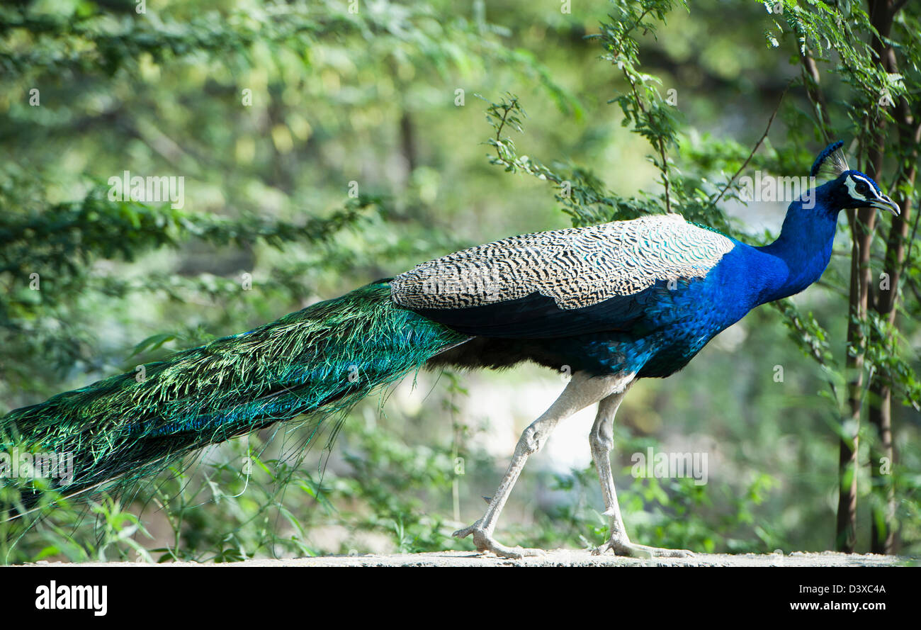 Peacock, Sohna, Haryana, India Immagini Stock