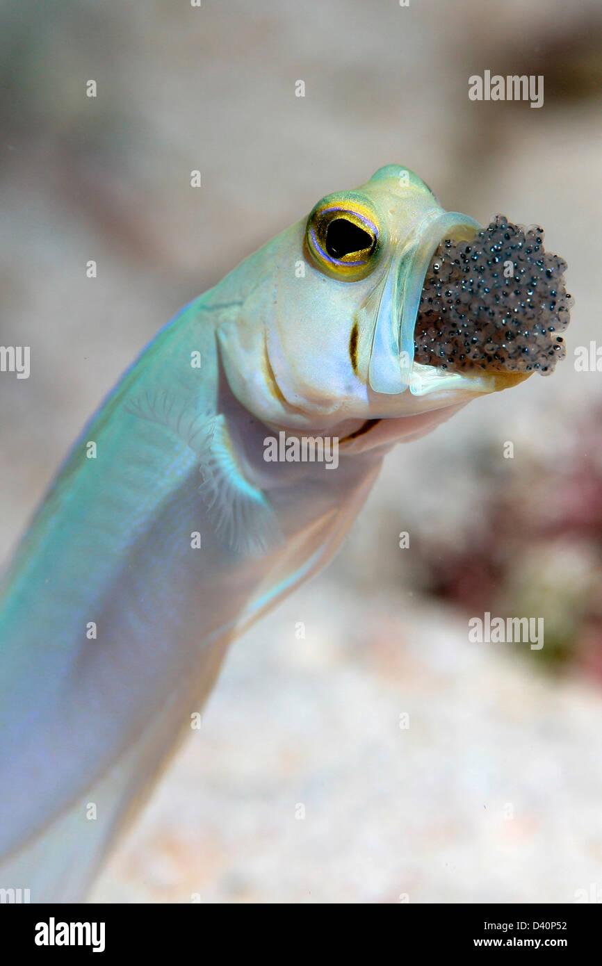 Maschio Jawfish Yellowhead molto brevemente di arieggiare le uova in bocca. Immagini Stock