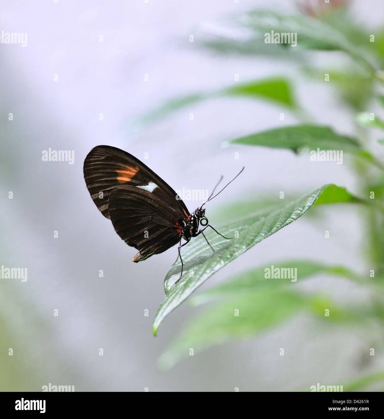 Farfalle tropicali su una foglia verde Immagini Stock