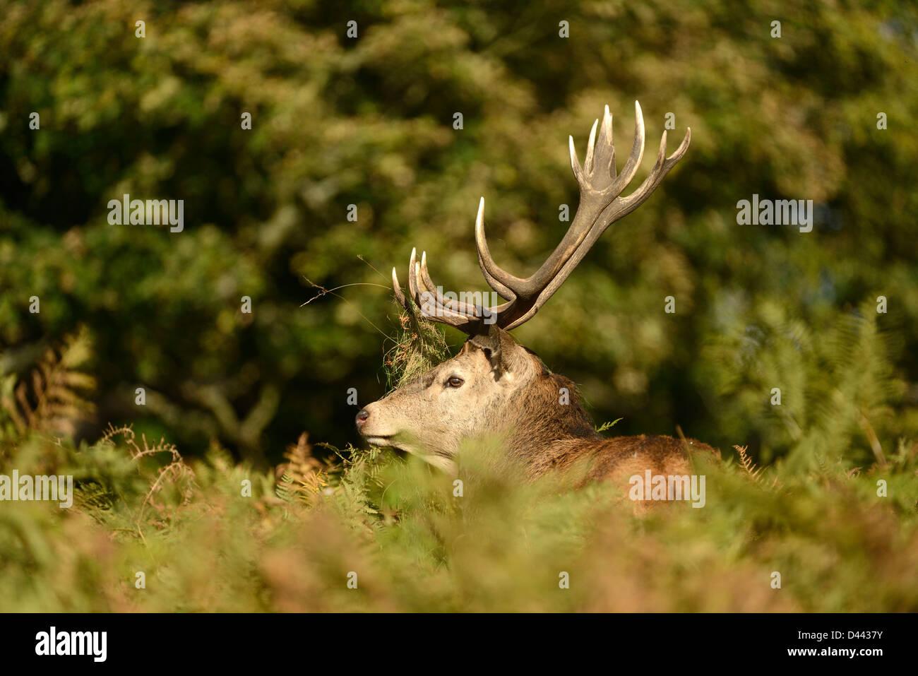 Il cervo (Cervus elaphus) stag parzialmente nascosti tra bracken, Richmond Park, Inghilterra, Ottobre Immagini Stock
