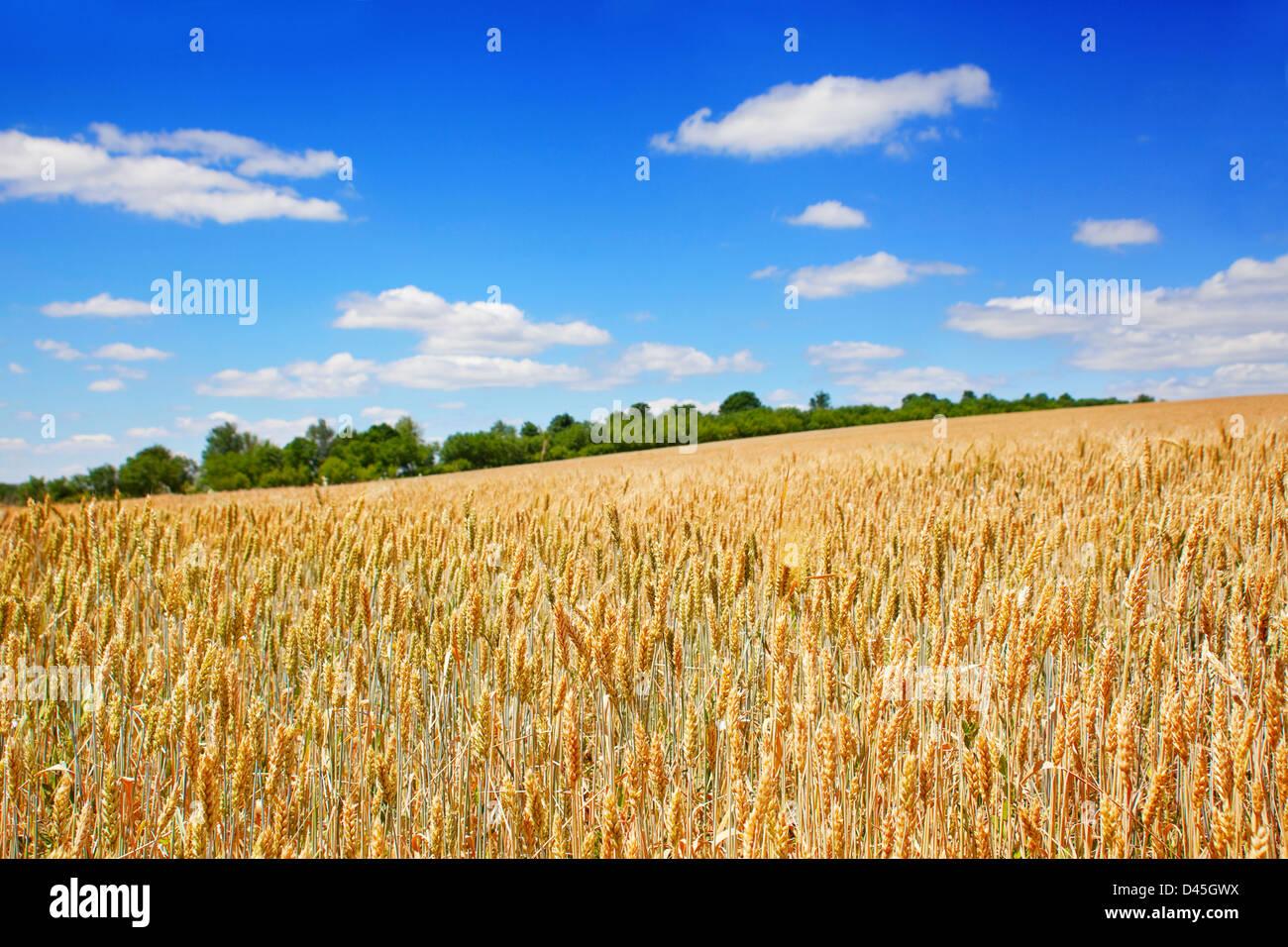Campo di grano paesaggio con sky Immagini Stock