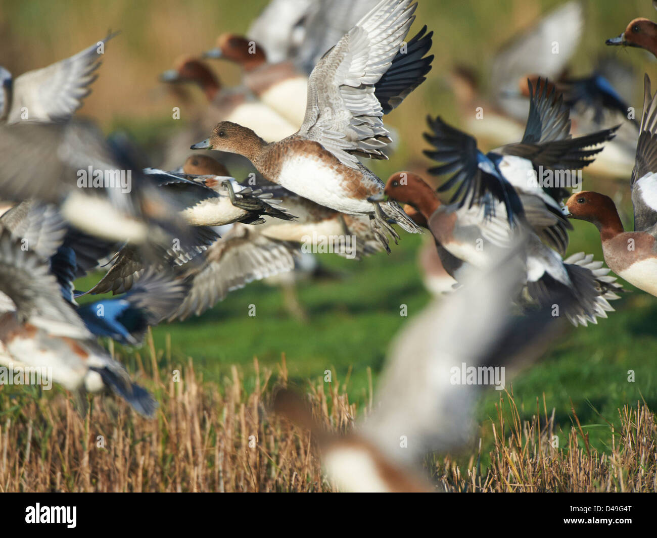 Wigeon in volo Foto Stock