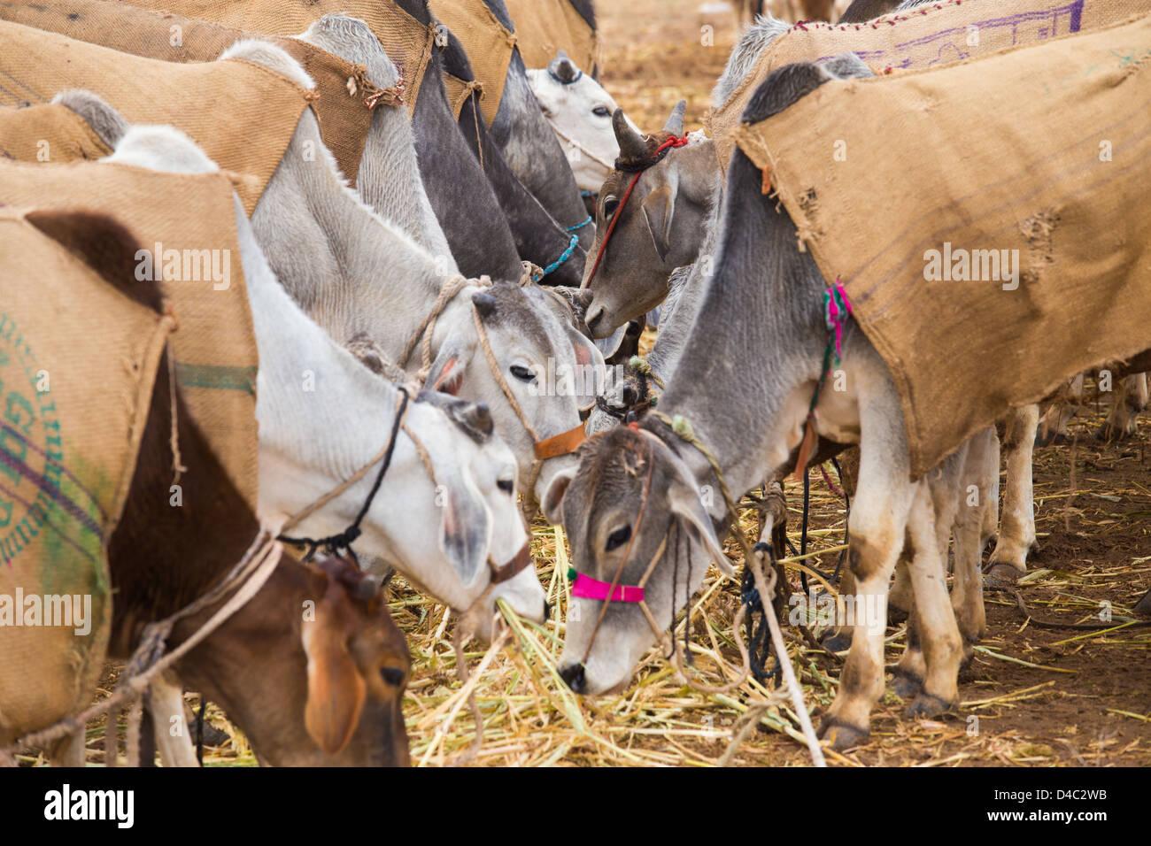 Nagaur fiera del bestiame, Nagaur, Rajasthan, India Immagini Stock