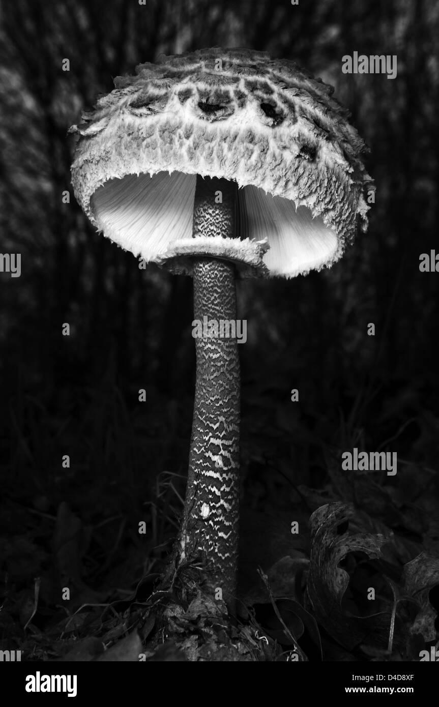 Macrolepiota procera fungo Immagini Stock