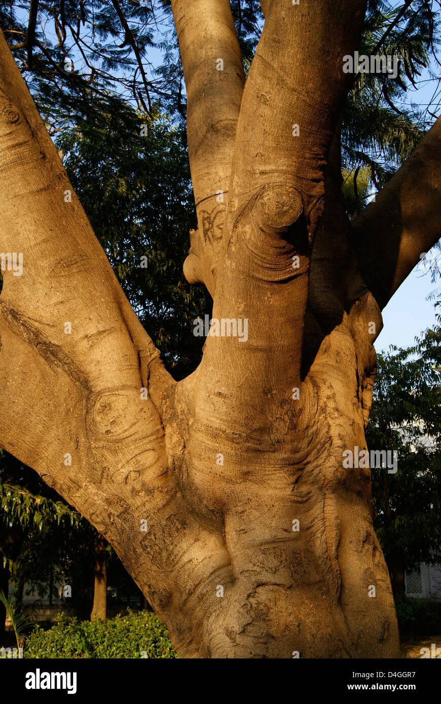 Un enorme tronco di albero e rami vista Swamy Vivekananda Park a Bangalore, India Immagini Stock