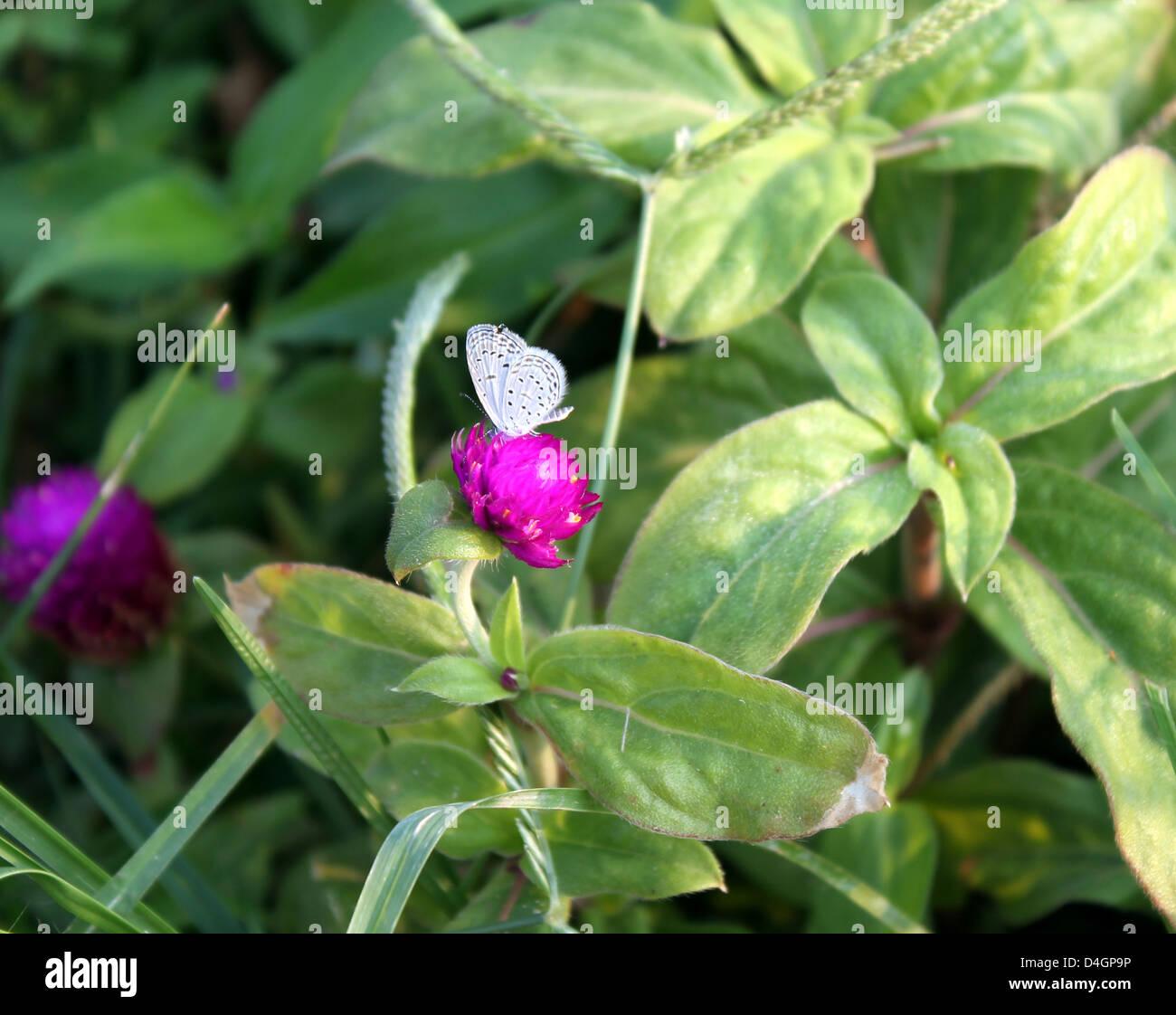 Una piccola farfalla bianca su un corso di laurea di tasto del fiore Immagini Stock