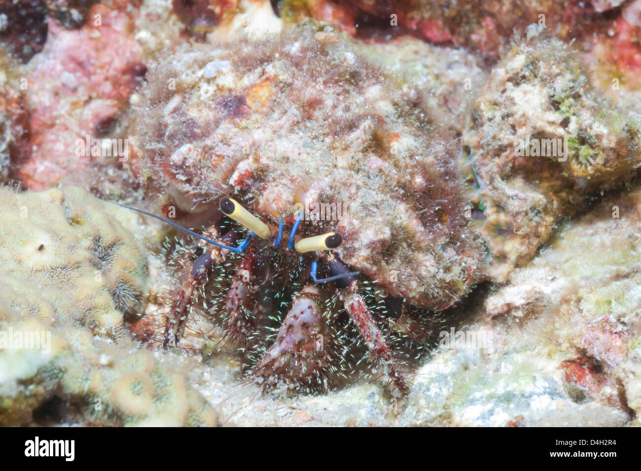Hairy eremita granchi (Aniculus elegans), nel sud della Thailandia, sul Mare delle Andamane, Oceano Indiano, sud Foto Stock