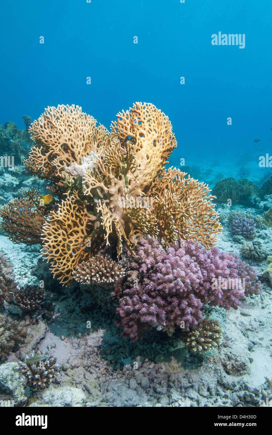 Il fuoco di corallo duro e Coral Reef, Il Parco Nazionale di Ras Mohammed, off Sharm el Sheikh, Sinai, Egitto, Mar Immagini Stock