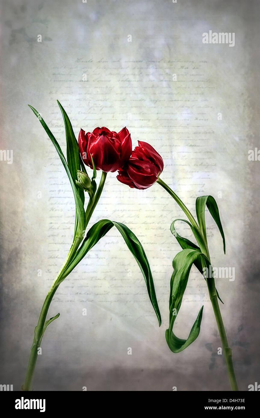 Due tulipani rossi su una vecchia lettera Immagini Stock