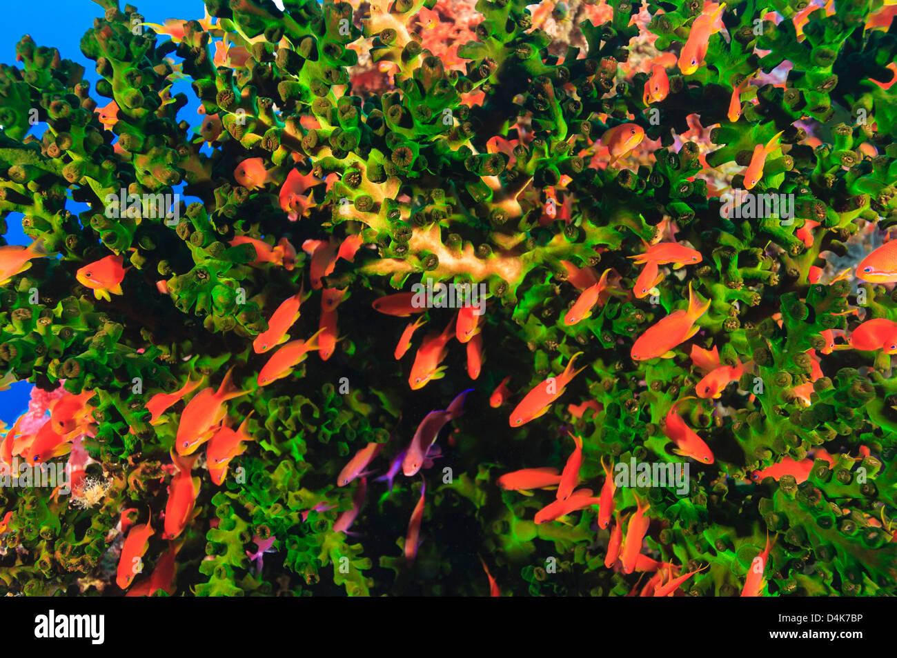 Pesci colorati nuoto nella barriera corallina Foto Stock
